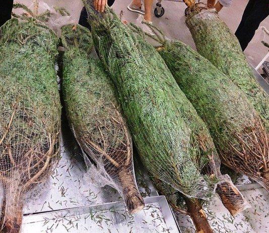 https://upload.wikimedia.org/wikipedia/commons/e/ec/Christmas_tree_for_sale.jpg
